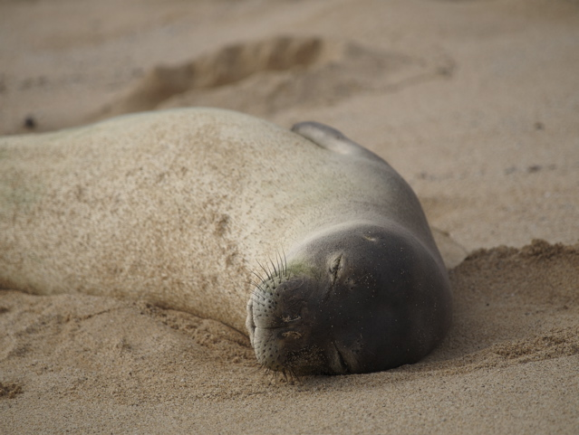 Young female monk seal